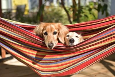 ハンモックにのって顔を出す二匹の犬
