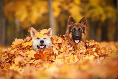 落ち葉の山から顔を出す秋田犬とシェパード