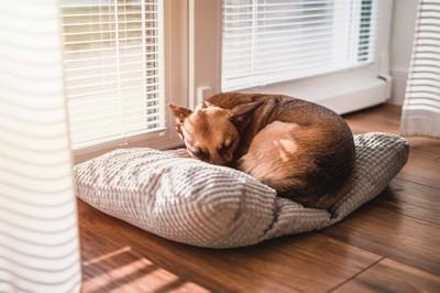 窓際で体を丸める犬