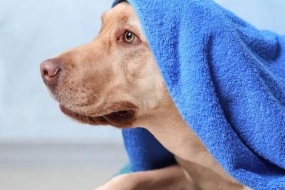 青いタオルを頭にかける犬