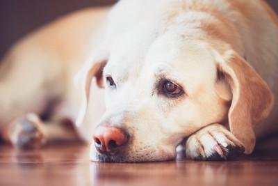 床で悲しそうな表情をする老犬
