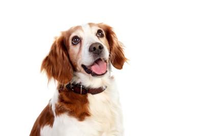 笑顔で見上げる垂れ耳の犬、白い背景