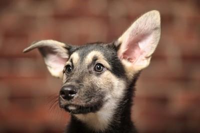 音に注目する犬