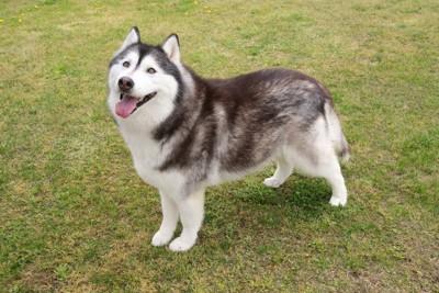 芝生の上に立つハスキー犬