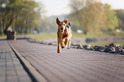 こちらへ向かって走る犬