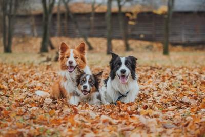 落ち葉の上に座る三頭の犬