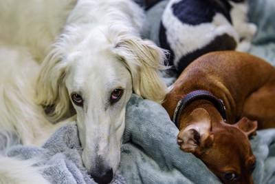 上目遣いの白い犬と眠る2匹の犬