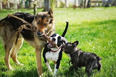木の枝で一緒に遊ぶ三匹の犬たち