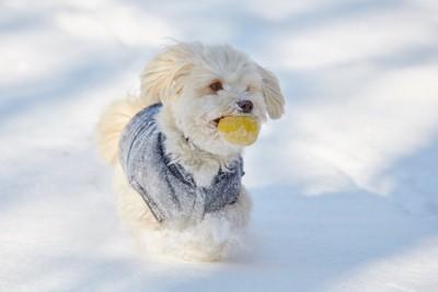 雪の中で黄色いボールを咥えている白い犬
