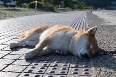 地面に寝転がる柴犬