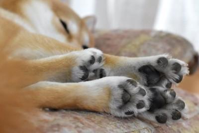 眠っている柴犬の手足と肉球