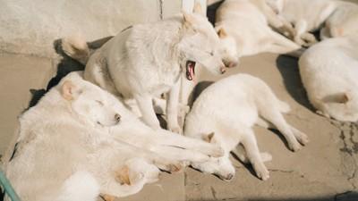 寝ている複数の犬とあくびをする犬