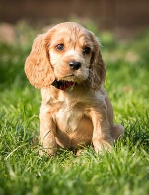 芝生に佇むコッカースパニエルの子犬
