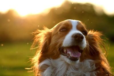 夕日をバックにした笑顔のコイケルホンド