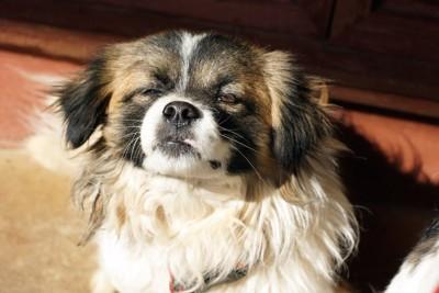 日なたぼっこをする眠そうな犬