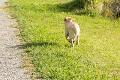 芝生を走って逃げる犬