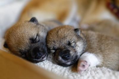 寄り添って眠る生まれたばかりの子犬たち