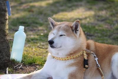 くつろぐたぬき顔の柴犬