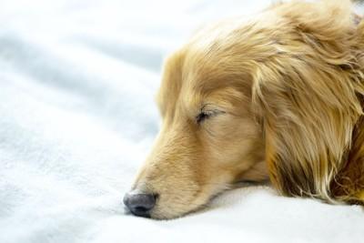 眠っているダックスフンドの横顔アップ