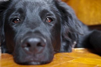 黒い犬の顔のアップ