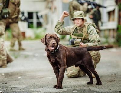 軍用犬のチョコラブと兵士