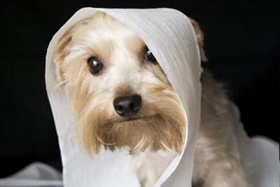 犬トイレットペーパーにくるまれる犬