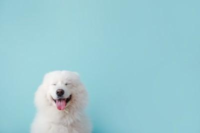 水色の背景と笑う白い犬
