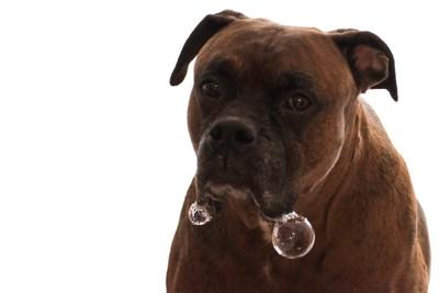 ヨダレが丸い泡になっている犬