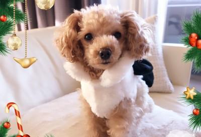 白いクリスマス衣装のトイプー