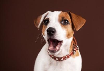 口を開けてこちらを見つめる犬