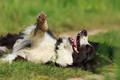 芝生に寝転ぶ犬