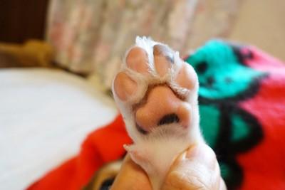 子犬のピンクの肉球