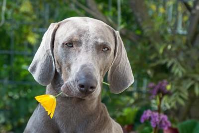 花をくわえている犬