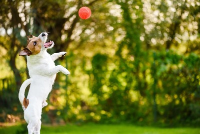 ボールをキャッチしようとしてジャンプする犬