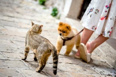 お散歩中のポメラニアンと猫