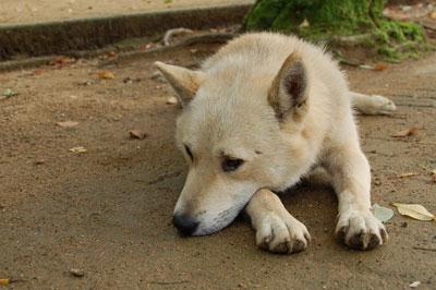 地面にふせる犬