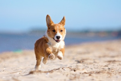 砂浜を走るウェルシュコーギーペンブローク