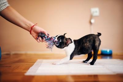 おもちゃを引っ張り合う犬と人の手