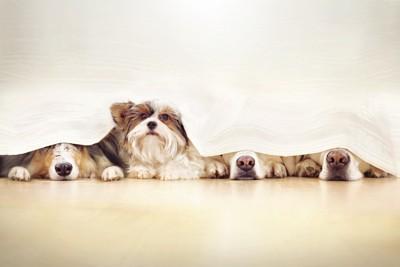 隠れる四頭の犬、一頭だけ顔を出す
