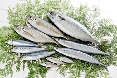たくさんの魚の写真