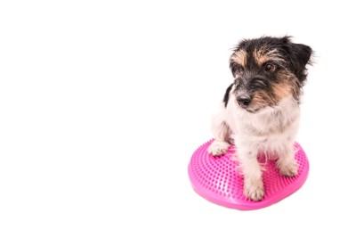 ピンクのバランスクッションに乗る犬