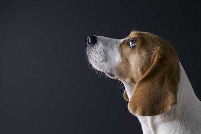 上を見つめるビーグル犬の横顔