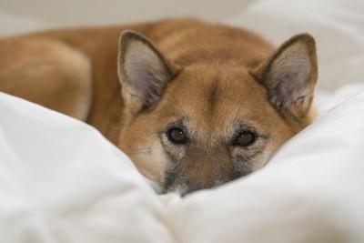 白いお布団の上から見つめる犬