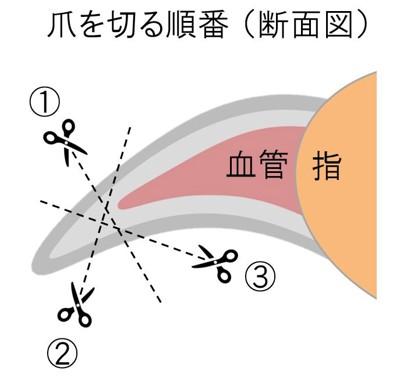 爪の断面図のイラスト(輪切り)
