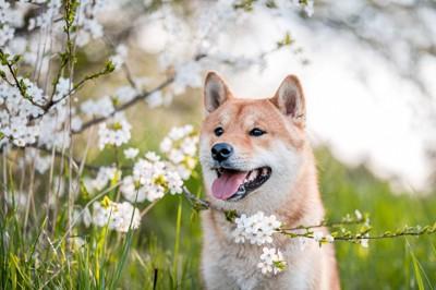 桜と笑顔の柴犬