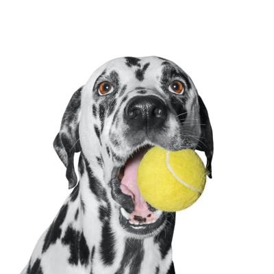 テニスボールを咥える犬