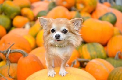 オレンジのかぼちゃの上に乗ったチワワ