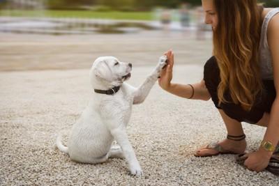 飼い主とハイタッチするラブラドールの子犬