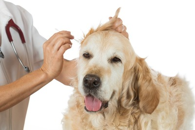 耳掃除をしている犬