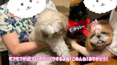 シーズーたちと猫ちゃん